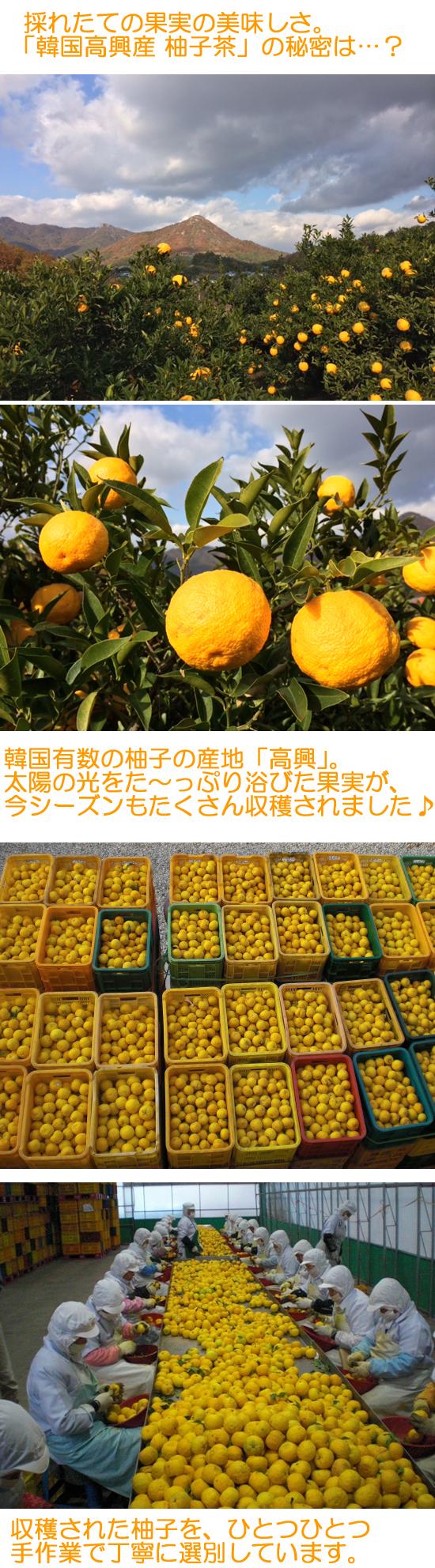 ジーエムピー韓国高興産柚子茶は新鮮な果実で作られます。